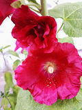 Red hollyhock flower on a Sunny summer day.  Stock Images