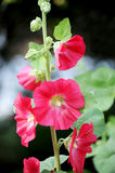 Red Hollyhock or Mallow. Beautiful high flower Stock Images