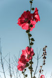 Red hollyhocks and blue sky background. Alcea,commonly known as hollyhocks, is a genus of about 60 species of flowering plants in the mallow family Malvaceae Royalty Free Stock Images
