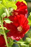 Red Hollyhocks Stock Photo