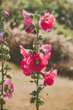 Red hollyhocks with morning sunlights. Alcea,commonly known as hollyhocks, is a genus of about 60 species of flowering plants in the mallow family Malvaceae Royalty Free Stock Photography