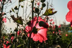 Red hollyhocks with morning sunlights. Alcea,commonly known as hollyhocks, is a genus of about 60 species of flowering plants in the mallow family Malvaceae Stock Photography