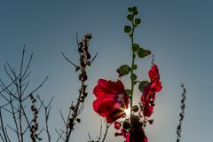 Red hollyhocks with morning sunlights. Alcea,commonly known as hollyhocks, is a genus of about 60 species of flowering plants in the mallow family Malvaceae Stock Photo