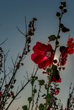 Red hollyhocks with morning sunlights. Alcea,commonly known as hollyhocks, is a genus of about 60 species of flowering plants in the mallow family Malvaceae Royalty Free Stock Images