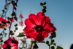 Red hollyhocks and morning sunlights. Royalty Free Stock Photos