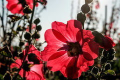 Red hollyhocks and morning sunlights. Stock Photo