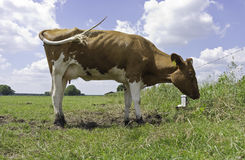 Red Holstein cow, standing in meadow. Red Holstein dairy cow, standing in a green pasture. The tail is swishing because of flies. The young cow is shy and royalty free stock photo