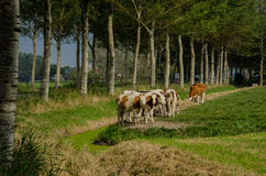 Red Holstein Cows on Farmland Royalty Free Stock Photography