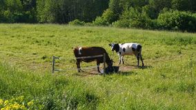 Two cows grazing in summer meadow. Red and Holstein cows graze on summer meadow stock video