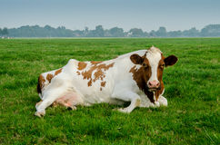 Red Holstein with Windmill in Background Royalty Free Stock Photography