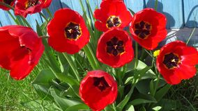 Red home tulips on a bed of scrap on a Sunny spring day. 4k. Red home tulips on a bed of scrap on a Sunny spring day stock video