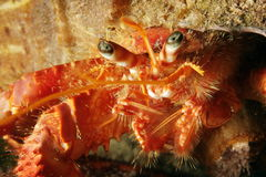 Red homit crab Stock Images