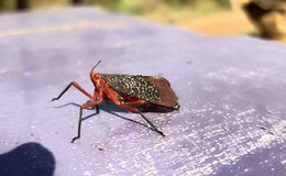 Red Hopper. Angry Hopper Sit On The Table royalty free stock photography