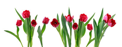 Red horizontal tulip banner Stock Images