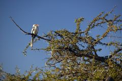 Red Hornbill bird with red beak in Lewa Conservancy, Kenya, Africa Stock Images
