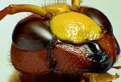 Red Hornet. Portrait shot of a red hornet Stock Photo