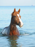 Red horse. In the sea in the summer stock photo