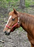 Red Horse. Out in a field with a red halter on Royalty Free Stock Photo