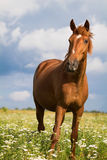 Red horse. Stand in field Stock Image