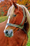 Red horse. Beautiful red horse on a background of red leaves Stock Images