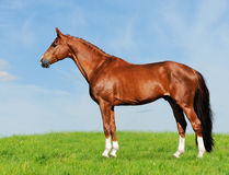 Red horse on the blue and green background. On the meadow Stock Image