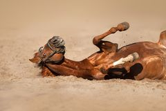Horse funny roll Stock Images