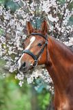 Horse in blossom Royalty Free Stock Image