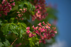 Red horse-chestnut Royalty Free Stock Photo