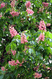 Red horse-chestnut tree Stock Photography