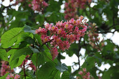 Red horse-chestnut tree Stock Image