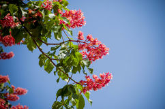 Red horse-chestnut tree - symbol of Kiev city in blossom. On the blue sky background Stock Photography