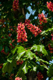 Red horse-chestnut tree - symbol of Kiev city in blossom. Flowers of pink chestnut tree Royalty Free Stock Photos