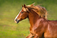 Red horse close up portrait Royalty Free Stock Image