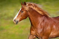 Red horse close up portrait Stock Photography