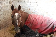 Red horse covered with a blanket lying in a stall on the farm sick tired. Dirty stock image