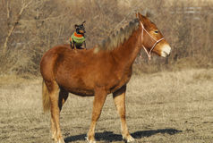 Red horse with a dog on the back Royalty Free Stock Photo