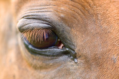 Red horse'e eye. Detail of a red horse'e eye royalty free stock photography