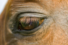Red horse'e eye Stock Image