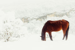 Red horse earn their provender  from under the snow on a mountain pasture Royalty Free Stock Photo