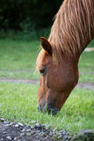 Red Horse Eating. Grass closeup royalty free stock photography