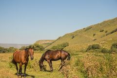 Red horse eating grass on pasture in Dombai national nature reserve. In the autumn background royalty free stock images
