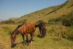 Red horse eating grass on pasture in Dombai national nature reserve. In the autumn background stock images