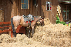 Red horse eats hay Royalty Free Stock Images