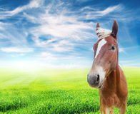 Red horse in the field over cloudy blue sky Stock Photography
