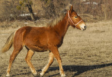 red horse on the field Royalty Free Stock Image