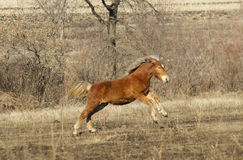 Red horse foal with a white blaze running Royalty Free Stock Photography