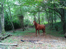 Red horse in the forest. Red Horse in a forest glade among trees and fallen leaves, Caucasus Nature Reserve, Russia Stock Images