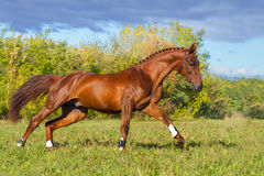Red horse galloping Royalty Free Stock Photography