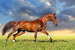 Red horse galloping Stock Images