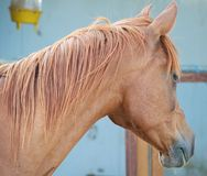 Red Horse. Ginger-haired horse in the stable is waiting for its breakfast Stock Images